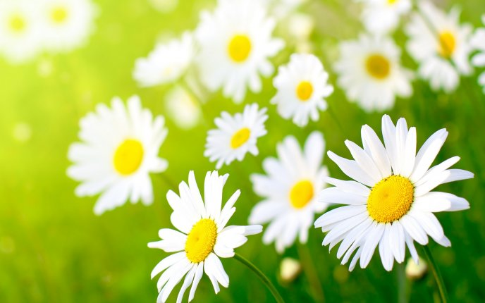 Garden full of daisies - beautiful spring perfume