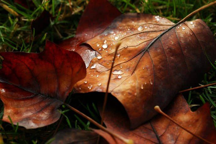 Water drops on the autumn leaves - HD wallpaper