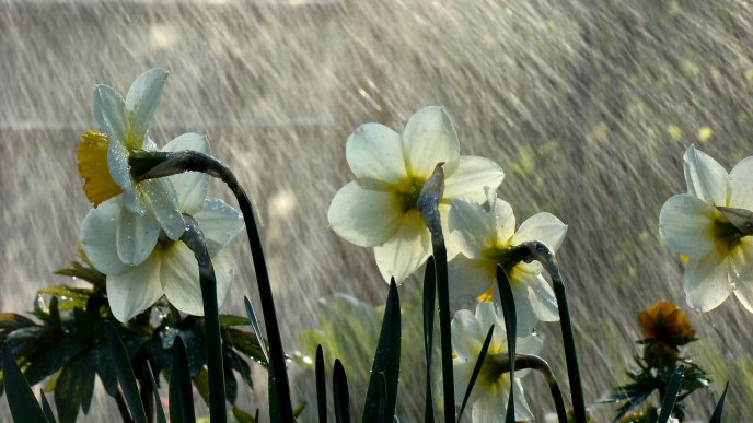 Torrential rains over the white daffodils in the garden