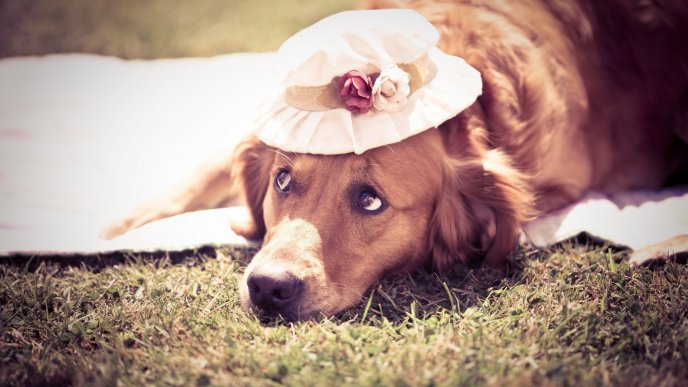 Brown dog on grass with a white hat