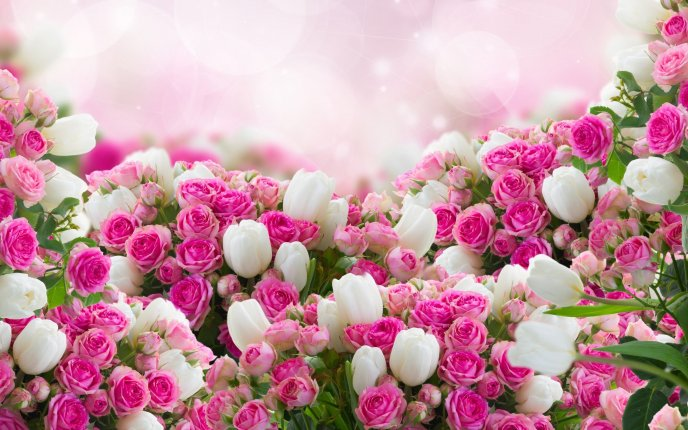 Wonderful pink roses and white tulips - Spring in a bouquet