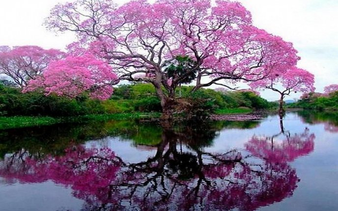 Pink tree mirror in the water - HD Wallpaper