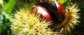 Chestnut in shell - HD macro wallpaper