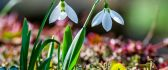 Two beautiful snowdrops in the garden - HD wallpaper