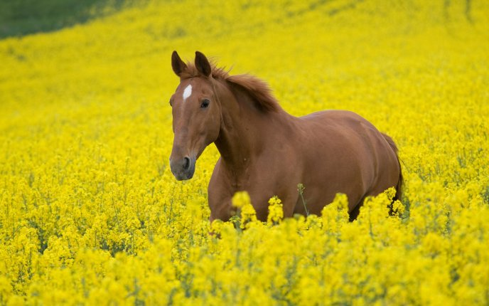 Beautiful brown horse in field of yellow flowers