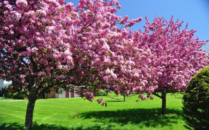 Beautiful trees in blossom - pink flowers