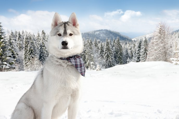 Beautiful grey Husky in the mountains - HD winter wallpaper