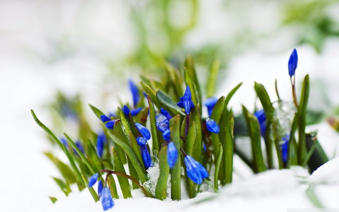 Spring blue flowers in the white snow - Wonderful nature