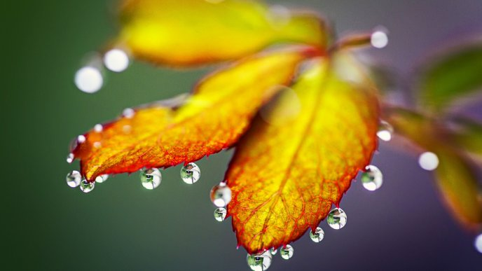 Macro wallpaper - Big water drops on a leaf - Autumn season