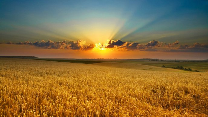 Golden wheat in the sunset light - Summer season time
