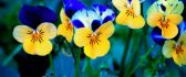 Yellow pansies with blue spots - Spring flowers