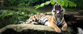 A tiger yawning on a rock in forest