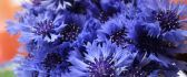 Amazing blue flowers in a wallpaper -Beautiful spring season