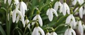 Spring flowers in my garden - Beautiful snowdrops